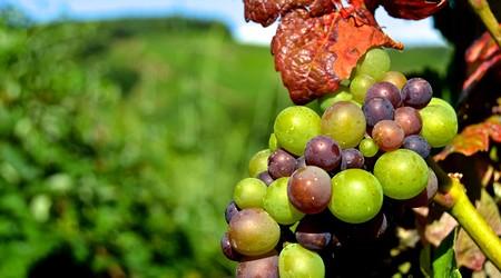 ilustrační obrázek k článku Lahodný likér z hroznového vína